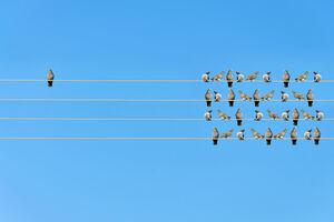 Vogelschwarm auf Stromleitungen - gegenüber ein einzelner Vogel