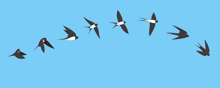 Schwalbenflug in 8 Bildern vor blauen Hintergrund